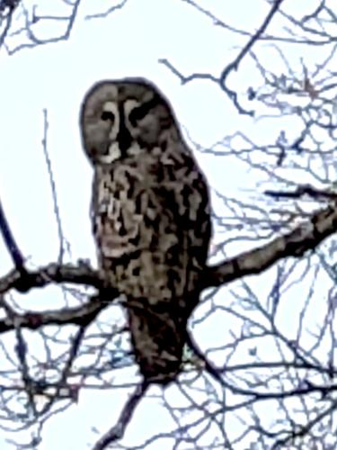 1dGray Owl